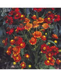 HELENIUM autumnale Helena Red Shades