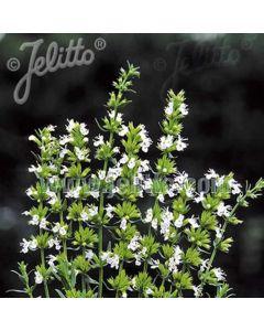HYSSOPUS officinalis Albus (Nectar White)