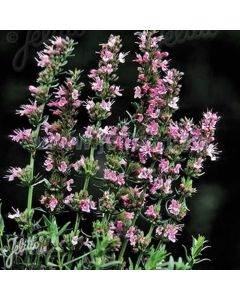 HYSSOPUS officinalis Roseus (Nectar Rose)