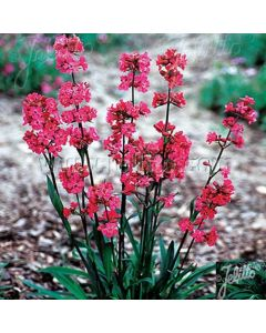 LYCHNIS viscaria splendens Feuer (Firebird, Rosett, Visca Fire)