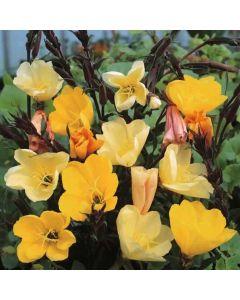 OENOTHERA odorata Sulphurea (Apricot Delight, Lemon Sunset)