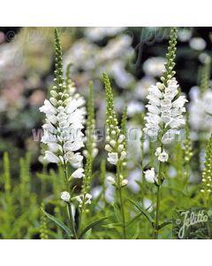 PHYSOSTEGIA virginiana Alba (White Queen,Snow Crown, Schneekrone)