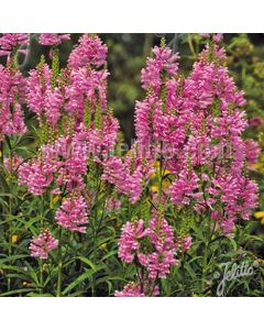 PHYSOSTEGIA virginiana Rosea (Rose Queen, Rose Crown)