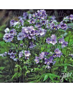 POLEMONIUM yezoense Purple Rain Strain