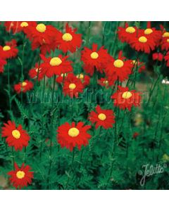 TANACETUM Robinsons Red