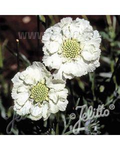 SCABIOSA caucasica Perfecta Alba (white perfection)