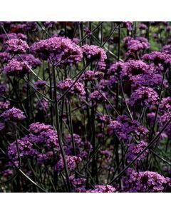 VERBENA Bonariensis (Buenos Aires, Purple Top)
