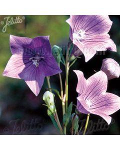 PLATYCODON grandiflorus 'Fuji Blue' (Florist Blue)