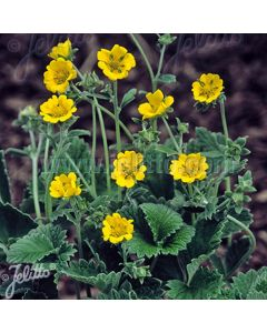 POTENTILLA Golden Starlit