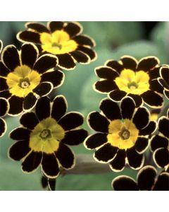 PRIMULA Elatior-Hybr. Gold Lace