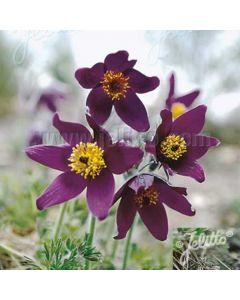 PULSATILLA Blaue Glocke (Violet Bells)