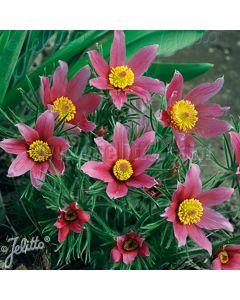 PULSATILLA vulgaris Rosen Glocke (Rose Bells)