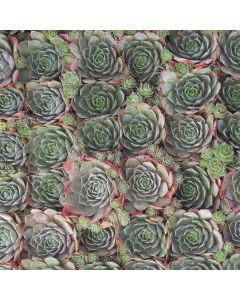 SEMPERVIVUM rusty