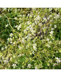 SAXIFRAGA cuneifolia 'Variegata'