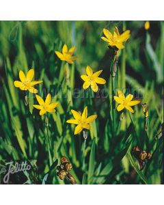 SISYRINCHIUM californicum (Yellow Stone)