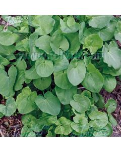 SORREL French (RUMEX scutatus)
