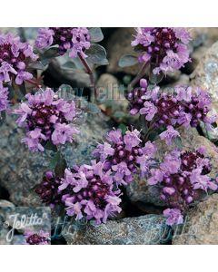 THYMUS polytrichus ssp. britannicus