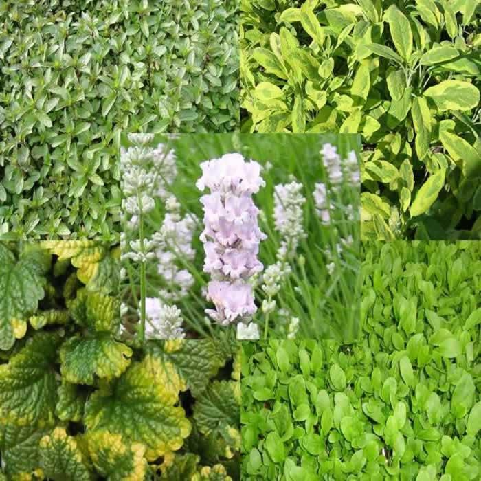 Herb Plug Plants
